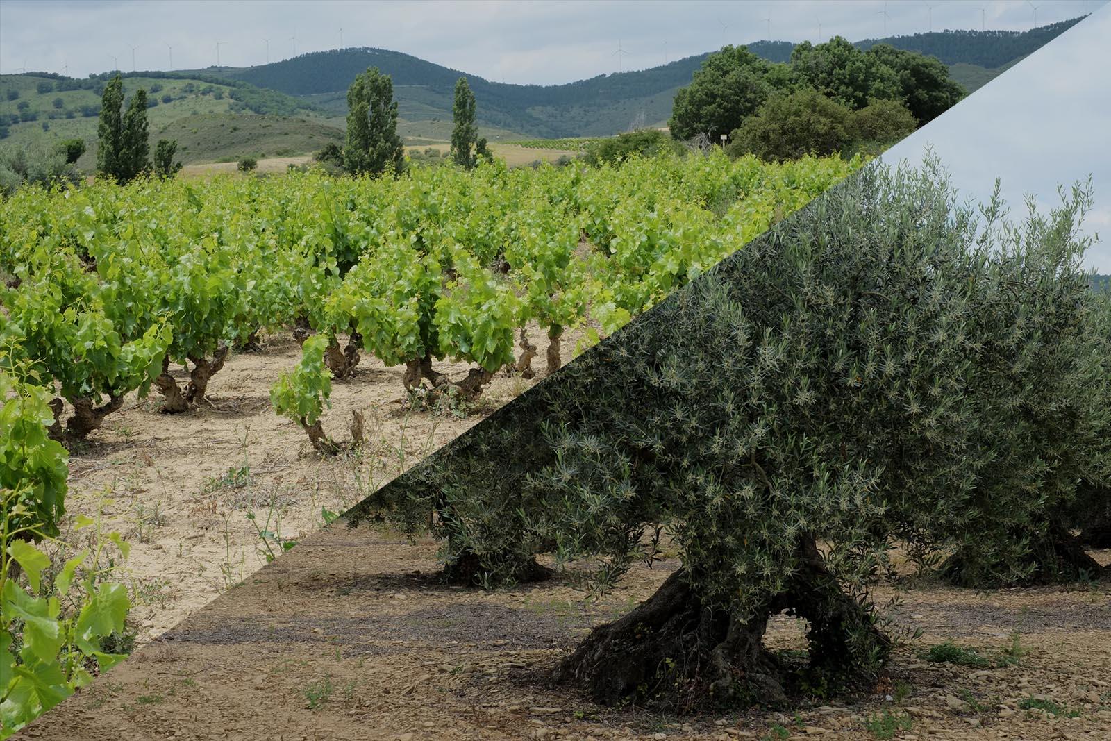 experiencia olivar y viñedo